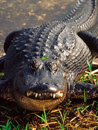 Alligator, Everglades National Park, Florida, USA Photographic Print by Charles Sleicher