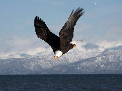 Bald Eagle Diving, Homer, Alaska, USA Photographic Print by David Northcott