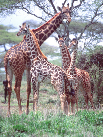 Giraffe Group or Herd with Young, Tanzania Photographic Print