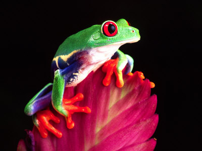 Red Eye Tree Frog on Bromeliad, Native to Central America Lámina fotográfica