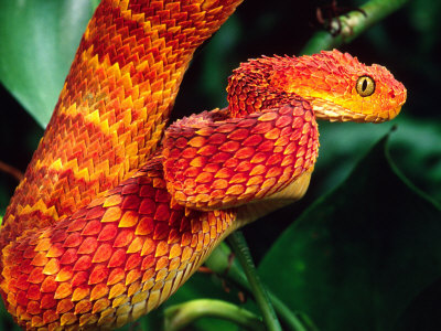 African Bush Viper Photographic Print