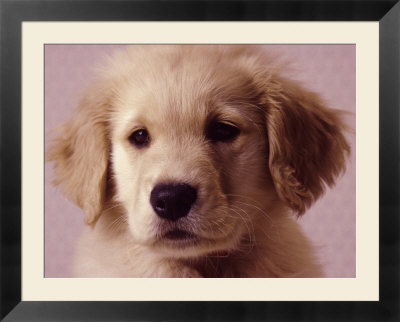 cute golden retriever wallpaper. cute golden retriever puppies