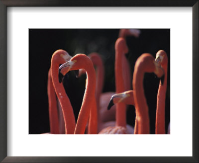 A group of greater flamingos in Africa Framed Art Print