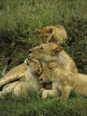 Three Lion Cubs Snuggling with their Mother in Serengeti National Park, Tanzania Stampa fotografica di Daniel Dietrich
