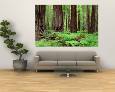 Trail, Avenue of the Giants, Founders Grove, California, USA Reproduction murale gante