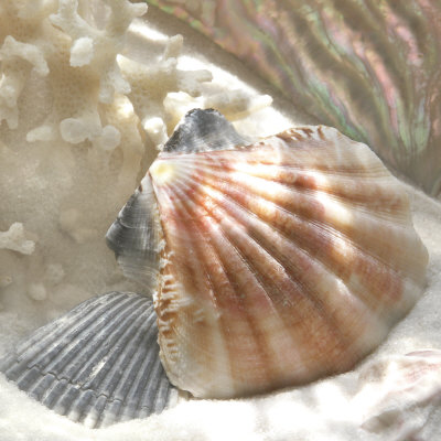Coral Shell III Prints by Donna Geissler