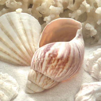 Coral Shell II beach sea shell photo poster by Donna Geissler