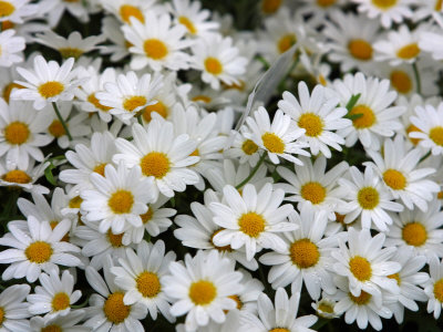 Close Up of Blooming Brilliant Daisies Photographic Print