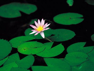 Beautiful Blooming Flowers and Lily Pads in Garden Photographic Print