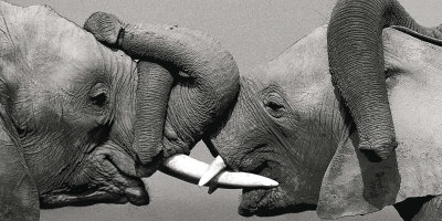 African Elephant Print by Jean-Michel Labat