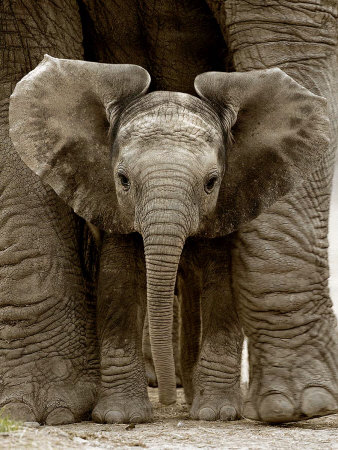 rouse-andy-bebe-elephant