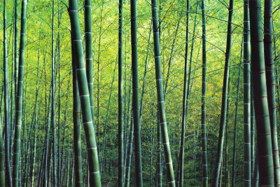The Bamboo Grove Kunsttryk