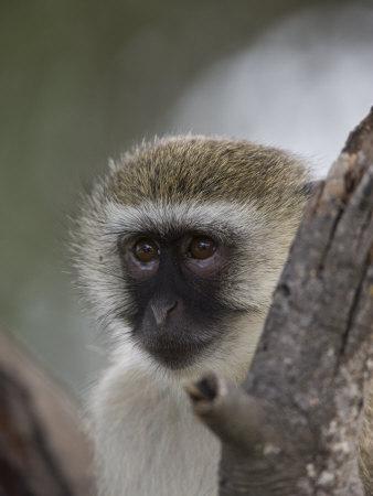 Black-Faced Vervet Monkey Perched in a Tree, Mombo, Okavango Delta, Botswana Photographic Print by Beverly Joubert