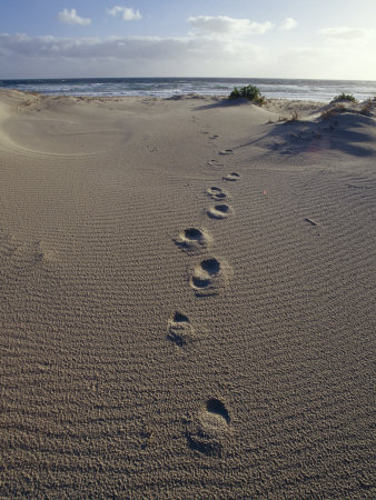 Human Foot Prints Cross a Sand Dune on a Remote Beach Photographic Print by Jason Edwards