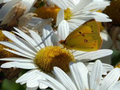 Alfalfa Butterfly Drinking Nectar from a Daisy, Belmont, Massachusetts, USA Photographic Print by Darlyne A. Murawski