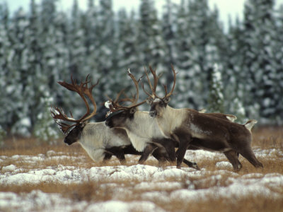 Trio of Caribou Bulls Migrate, St. Elias National Park, Alaska Photographic Print