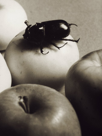 Coleoptera on an Apple Photographic Print