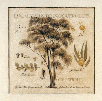 Eucalyptus de Porquerolles Prints by Pascal Cessou