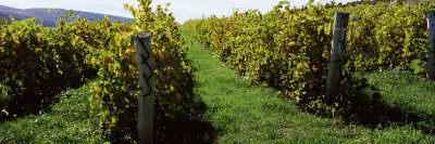 Vineyard on a Landscape, Keuka Lake, Finger Lakes, New York State, USA Photographic Print by  Panoramic Images