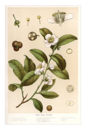Botanical Image of Tea Plant Premium Poster