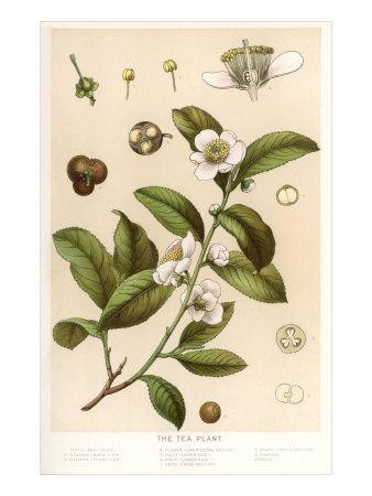 Botanical Image of Tea Plant Prints