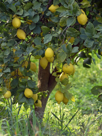 Close-Up of Lemon Tree, Denia, Spain, Europe Fotoprint av Jan Baldwin