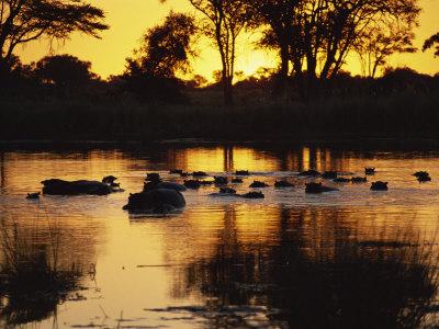 Tranquil Scene of a Group of Hippopotamus in Water at Sunset, Okavango Delta, Botswana Photographic Print by Paul Allen