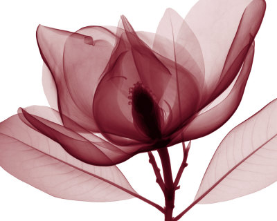 Red Magnolia I Prints by Steven N. Meyers