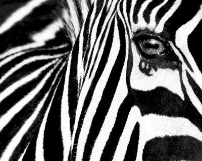 black white ii zebra poster by rocco sette at. Black Bedroom Furniture Sets. Home Design Ideas