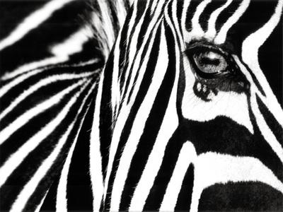 black and white pictures of zebras. Black amp; White II (Zebra) Art