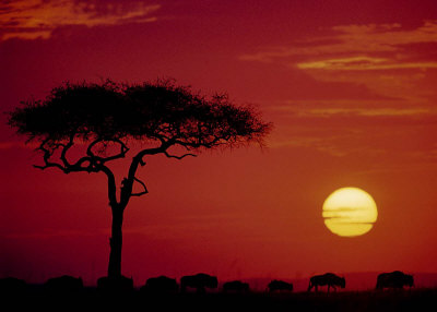 Wild Beast Migration, Masai Mara, Kenya Prints by Dee Ann Pederson
