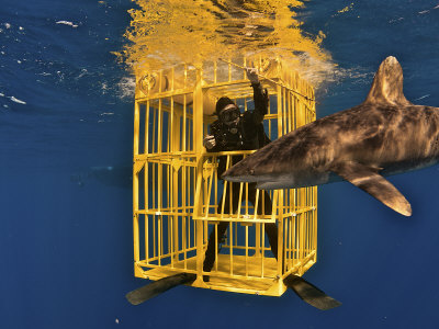 An oceanic whitetip shark swims past a scientist Lmina fotogrfica