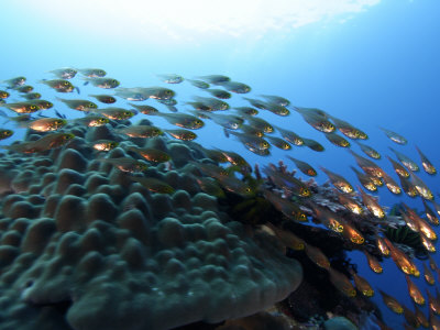Sweeper fish in the waters off of Banta Island Photographic Print by Randy Olson
