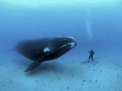 A diver has a close encounter wih a southern right whale 写真プリント : ブライアン J. スケリー