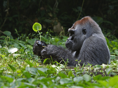 A silverback soaks in a swamp for hours while munching herb roots 写真プリント : イアン・ニコルズ
