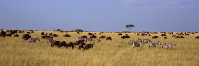 Wildebeests and Zebra Migration, Masai Mara National Reserve, Kenya Photographic Print by  Panoramic Images