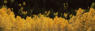 Aspen Trees in a Forest, Telluride, San Miguel County, Colorado, USA Photographic Print by  Panoramic Images