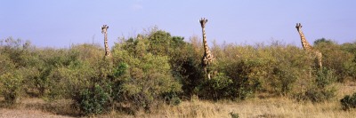 Giraffes Walking in a Field, Masai Mara National Reserve, Kenya Photographic Print by  Panoramic Images