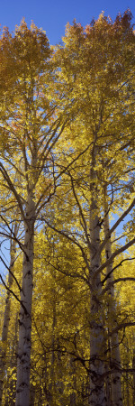 Low Angle View of Aspen Trees, Telluride, San Miguel County, Colorado, USA Photographic Print by  Panoramic Images