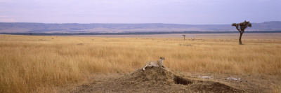 Cheetah Sitting on a Mound, Masai Mara National Reserve, Kenya Photographic Print by  Panoramic Images