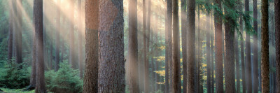 Sunlight Shining Through Trees in a Forest, South Bohemia, Czech Republic Photographic Print by  Panoramic Images