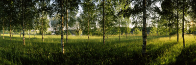 Birch Trees in a Forest, Imatra, South Karelia, Southern Finland, Finland Photographic Print by  Panoramic Images