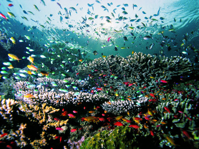Madreporic Formation at Sipadan Island with Thousands of Little Chromis and Pseudanthias Fishes images of coral photo poster