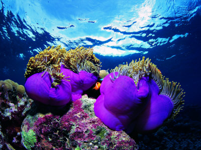 Sea Anemones (Heteractis Magnifica) and Clown Fish (Amphiprion Nigripes) Photographie