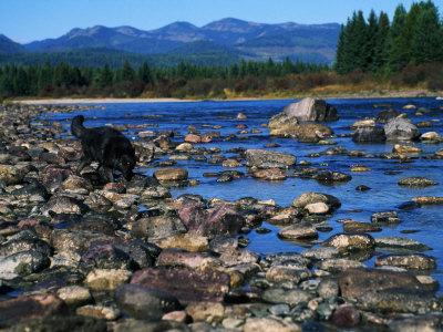 Wolf on Rocks at Edge of Flathead River Photographic Print