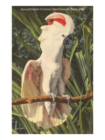 Salmon-Crested Cockatoo, Florida Posters
