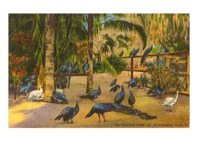 Peacocks, St. Petersburg, Florida Poster