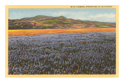 Wildflowers in Spring, California Premium Poster