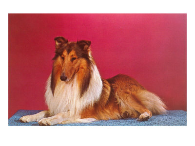 Collie Posters