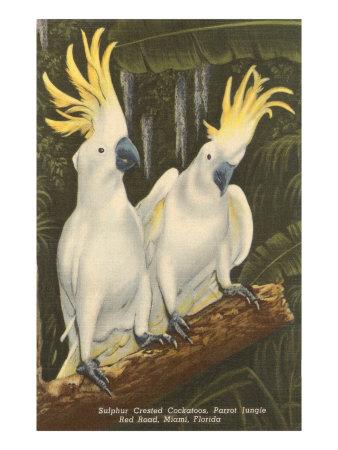 Sulphur-Crested Cockatoos, Miami, Florida Posters